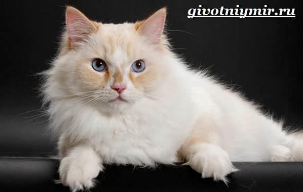 Порода кошек рагамаффин: как выглядят взрослые кот и кошка, какой у них характер, есть ли кошки рагамаффин в России