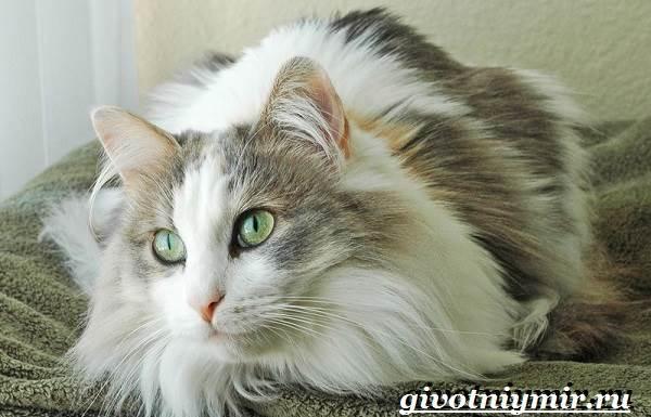 Рагамаффин-кошка-Описание-особенности-уход-и-цена-породы-рагамаффин-2