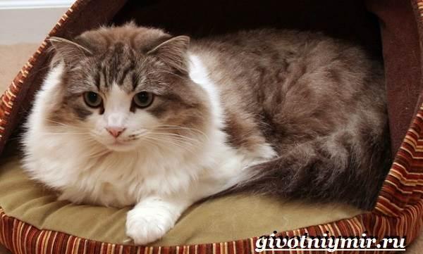 Рагамаффин-кошка-Описание-особенности-уход-и-цена-породы-рагамаффин-3