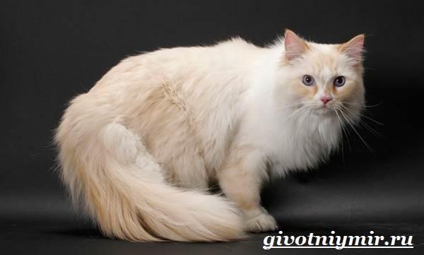Рагамаффин-кошка-Описание-особенности-уход-и-цена-породы-рагамаффин-6