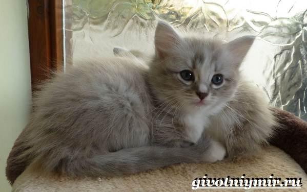 Рагамаффин-кошка-Описание-особенности-уход-и-цена-породы-рагамаффин-7