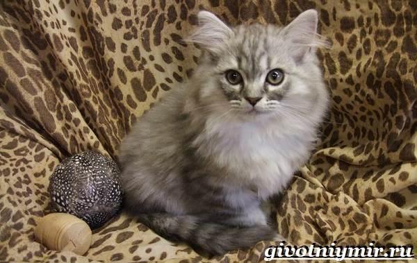 Рагамаффин-кошка-Описание-особенности-уход-и-цена-породы-рагамаффин-8