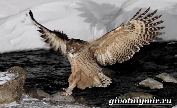 Рыбный-филин-Образ-жизни-и-среда-обитания-рыбного-филина-3