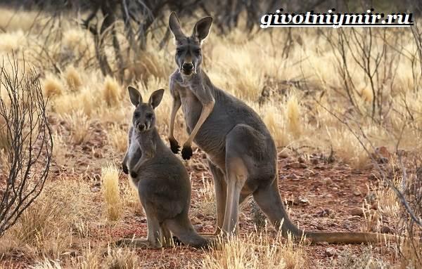 Рыжий-кенгуру-Образ-жизни-и-среда-обитания-рыжего-кенгуру-10