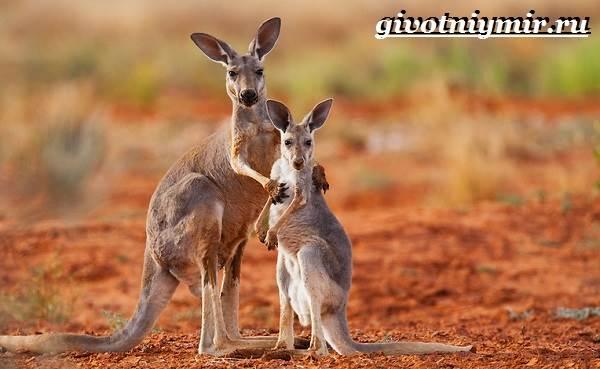 Рыжий-кенгуру-Образ-жизни-и-среда-обитания-рыжего-кенгуру-12
