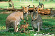 Рыжий кенгуру. Образ жизни и среда обитания рыжего кенгуру