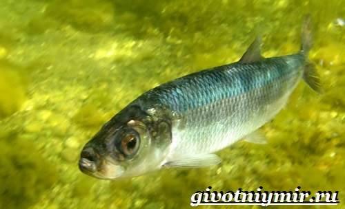 Сельдь-рыба-Образ-жизни-и-среда-обитания-сельди-3