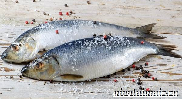 Сельдь-рыба-Образ-жизни-и-среда-обитания-сельди-5