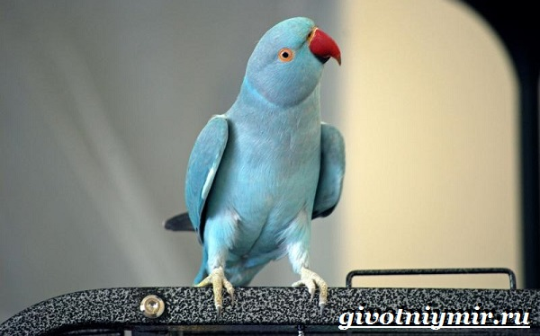 Синий-попугай-Образ-жизни-и-среда-обитания-синего-попугая-10