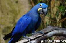 Синий попугай. Образ жизни и среда обитания синего попугая