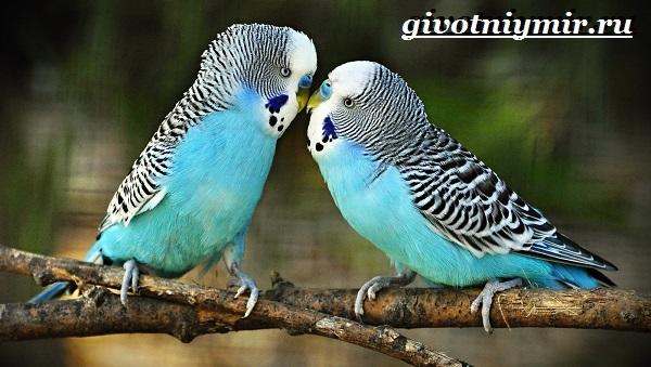 Синий-попугай-Образ-жизни-и-среда-обитания-синего-попугая-12