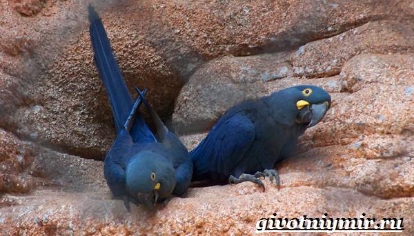 Синий-попугай-Образ-жизни-и-среда-обитания-синего-попугая-2