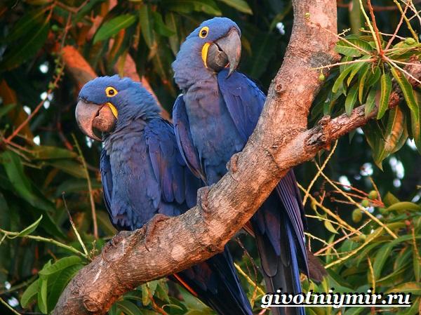 Синий-попугай-Образ-жизни-и-среда-обитания-синего-попугая-3