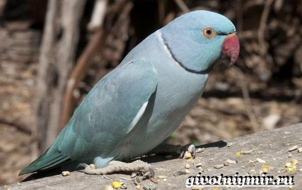 Синий-попугай-Образ-жизни-и-среда-обитания-синего-попугая-4