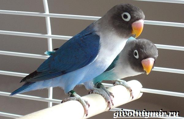 Синий-попугай-Образ-жизни-и-среда-обитания-синего-попугая-5