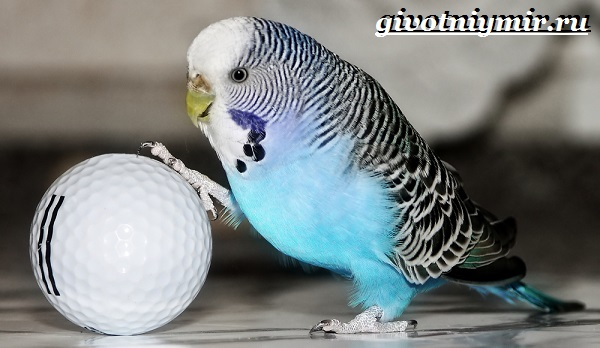 Синий-попугай-Образ-жизни-и-среда-обитания-синего-попугая-6