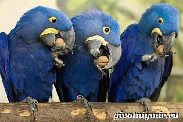 Синий-попугай-Образ-жизни-и-среда-обитания-синего-попугая-7