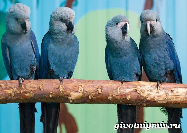 Синий-попугай-Образ-жизни-и-среда-обитания-синего-попугая-9