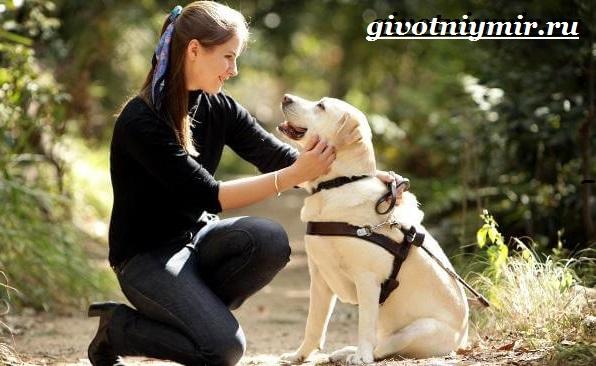 Собака-поводырь-Породы-и-обучение-собак-поводырей-12