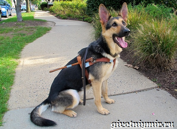 Собака-поводырь-Породы-и-обучение-собак-поводырей-14