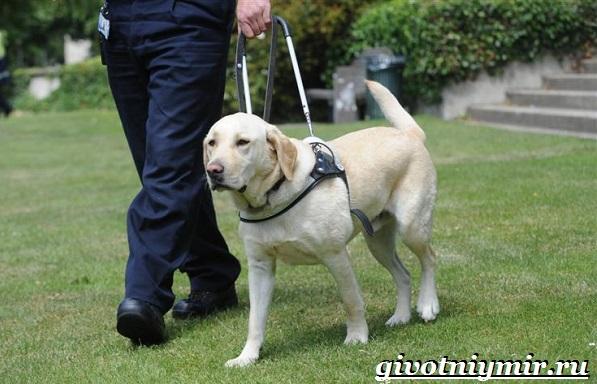 Собака-поводырь-Породы-и-обучение-собак-поводырей-2