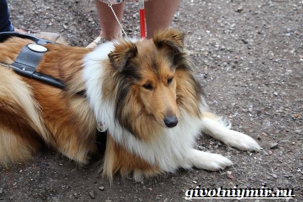 Собака-поводырь-Породы-и-обучение-собак-поводырей-3