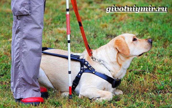 Собака-поводырь-Породы-и-обучение-собак-поводырей-4