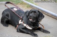 Собака поводырь. Породы и обучение собак поводырей