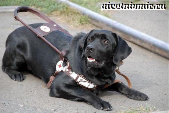 Собака-поводырь-Породы-и-обучение-собак-поводырей-6