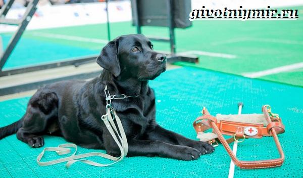 Собака-поводырь-Породы-и-обучение-собак-поводырей-7