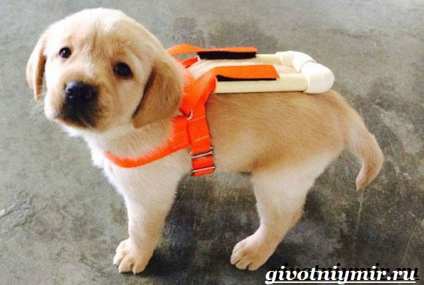 Собака-поводырь-Породы-и-обучение-собак-поводырей-8
