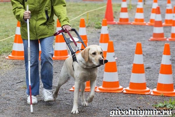 Собака-поводырь-Породы-и-обучение-собак-поводырей-9
