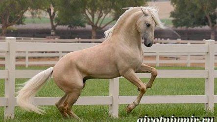 Соловая лошадь. Описание, виды, уход и цена соловой лошади