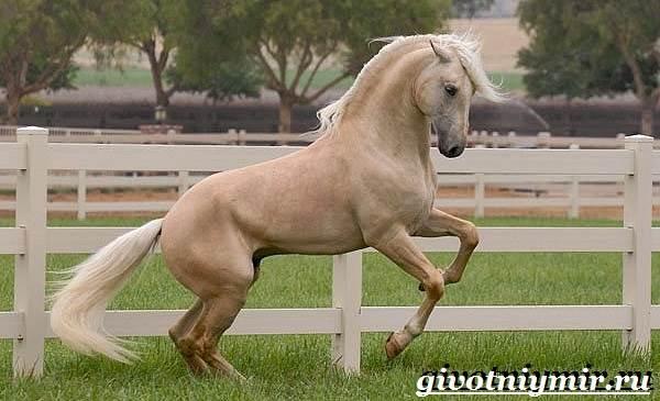 Соловая-лошадь-Описание-виды-уход-и-цена-соловой-лошади-2