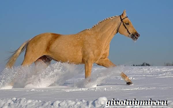 Соловая-лошадь-Описание-виды-уход-и-цена-соловой-лошади-6