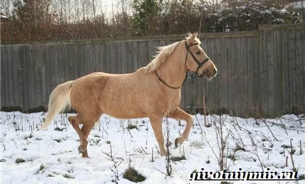 Соловая-лошадь-Описание-виды-уход-и-цена-соловой-лошади-7