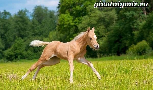 Соловая-лошадь-Описание-виды-уход-и-цена-соловой-лошади-9