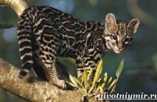 Тигровая кошка. Описание, особенности, виды и цена тигровой кошки