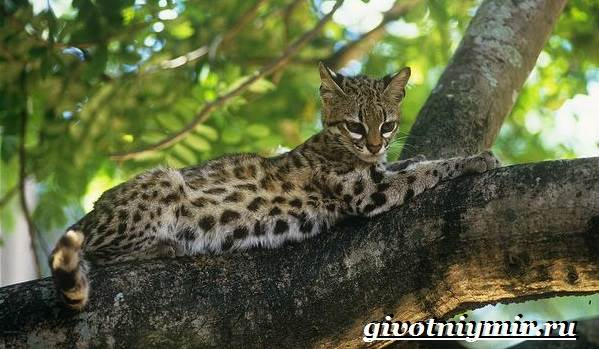 Тигровая-кошка-Описание-особенности-виды-и-цена-тигровой-кошки-2