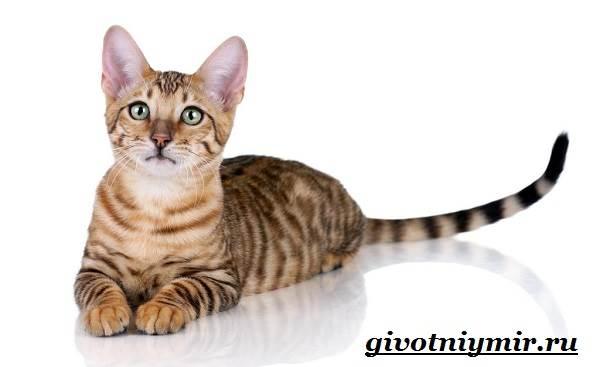 Тигровая-кошка-Описание-особенности-виды-и-цена-тигровой-кошки-5