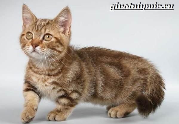 Тигровая-кошка-Описание-особенности-виды-и-цена-тигровой-кошки-6