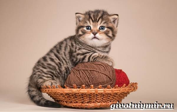 Тигровая-кошка-Описание-особенности-виды-и-цена-тигровой-кошки-7