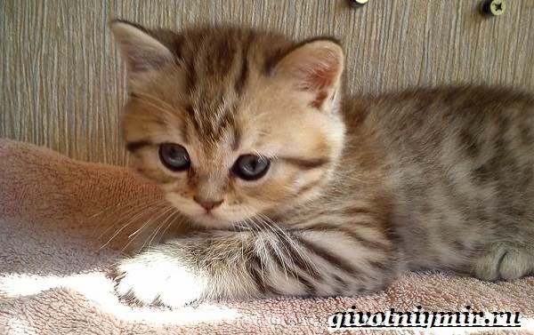 Тигровая-кошка-Описание-особенности-виды-и-цена-тигровой-кошки-8