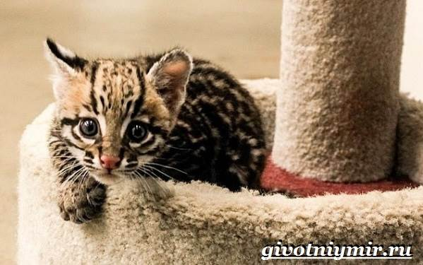 Тигровая-кошка-Описание-особенности-виды-и-цена-тигровой-кошки-9