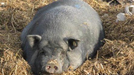 Вьетнамская свинья. Описание, особенности, разведение и цена вьетнамской свиньи