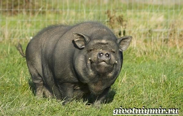 Вьетнамская-свинья-Описание-особенности-разведение-и-цена-вьетнамской-свиньи-10