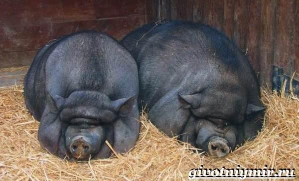 Вьетнамская-свинья-Описание-особенности-разведение-и-цена-вьетнамской-свиньи-11
