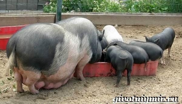Вьетнамская-свинья-Описание-особенности-разведение-и-цена-вьетнамской-свиньи-12