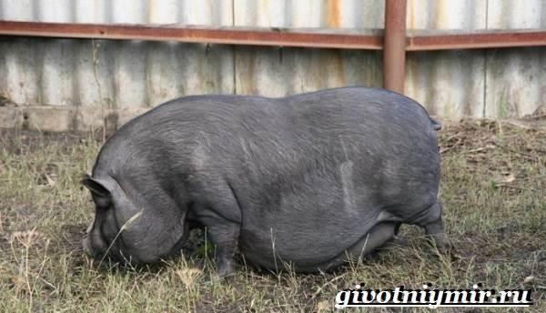 Вьетнамская-свинья-Описание-особенности-разведение-и-цена-вьетнамской-свиньи-2