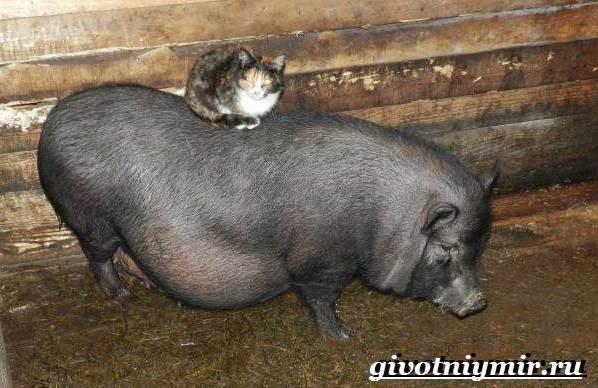 Вьетнамская-свинья-Описание-особенности-разведение-и-цена-вьетнамской-свиньи-3